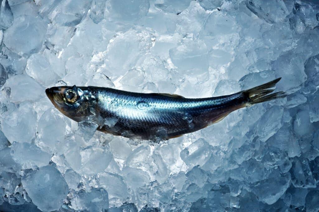 Herring fish on ice